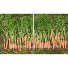 CA05 Hongyang mid-early maturity f1 hybrid quality carrot seeds for planting